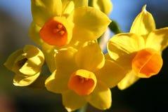 jonquil żółte kwiaty zdjęcia stock
