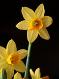 Yellow daffodils. Closeup of yellow daffodils in bloom with black background stock photos