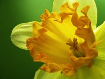 Free Jonquil 01 Stock Images - 621034