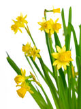 Jonquil #01 Image stock
