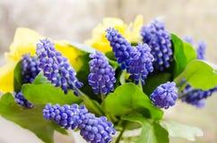 jonquil 01 bl? muscari bukett Doftande v?r S?t arom av ljusa f?rger Bukett f?r din favorit- flicka Blommor fotografering för bildbyråer
