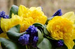 jonquil 01 bl? muscari bukett Doftande v?r S?t arom av ljusa f?rger Bukett f?r din favorit- flicka Blommor arkivbilder