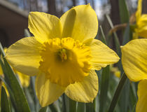 Jonquil. A close up of a bright yellow Jonquil royalty free stock photography
