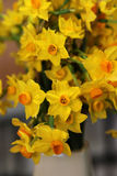 Jonquil Royalty Free Stock Photo