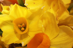 Jonquil Stock Photo