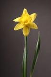 Jonquil Daffodil Стоковая Фотография