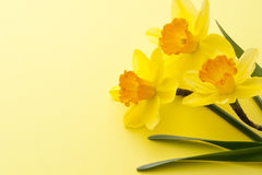 Jonquil flower. On yellow background Royalty Free Stock Image