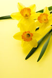 Jonquil flower. On yellow background royalty free stock photo