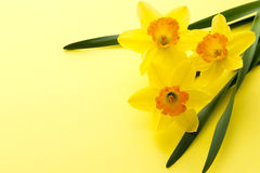 Jonquil flower. On yellow background Stock Image