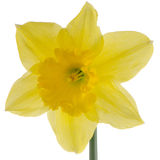Jonquil flower. Yellow jonquil flower isolated on white background stock photography
