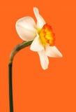 Jonquil flower Stock Photo