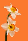 Jonquil flower. White and yellow Jonquil flower on orange background stock photo