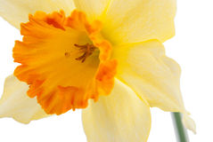 Jonquil flower. Yellow jonquil flower isolated on white background stock photo