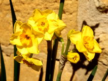 Jonquil Flowers. Close up of jonquil flowers against a limestone wall royalty free stock photos