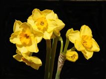 Jonquil Flowers. Close up of jonquil flowers isolated on a black background stock image