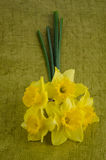 Jonquil flowers. Yellow jonquil flowers on green painted background royalty free stock images