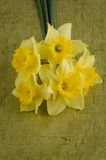 Jonquil flowers. Yellow jonquil flowers on green painted background stock images