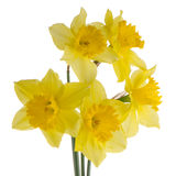Jonquil flowers. Yellow jonquil flowers isolated on white background stock photo