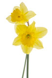 Jonquil flowers. Yellow jonquil flowers isolated on white background stock photography