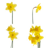 Jonquil flowers. Yellow jonquil flowers isolated on white background royalty free stock photography