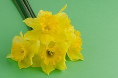 Jonquil flowers. Yellow jonquil flowers on green painted background stock image