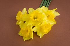 Jonquil flowers. Yellow jonquil flowers on paper background royalty free stock image
