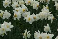 Flowerbed Orchestra of white daffodils - France. Jonquil is in French a vernacular name which indicates several plants, generally the kind Narcissus. Vulgar name royalty free stock photos