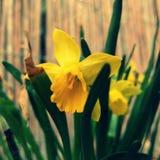 Jonquil. In garden stock photography