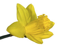Jonquil [Narcissus pseudonarcissus]. As isolated photographic stock images