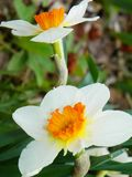 Jonquil or Narcissus spring perennial naturalizer plant. Narcissus is a genus of predominantly spring perennial plants of the Amaryllidaceae amaryllis family royalty free stock photo