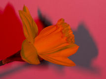 Jonquil [水仙pseudonarcissus] 库存照片