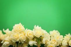 Jonquille d'Erlicheer ou fleurs de jonquille colorée par blanc Image libre de droits