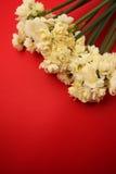 Jonquille d'Erlicheer ou fleurs de jonquille colorée par blanc Images libres de droits