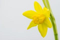Narcisse, jonquille : plantation et entretien des fleurs - Jardiner Malin
