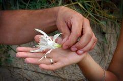 Jonquille de mer, maritimum de Pancratium dans les mains d'un couple Images stock