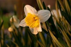 Jonquille fleurissant au printemps Image stock