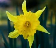 Jonquille jaune Photographie stock libre de droits