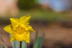 Jonquille jaune Photo stock
