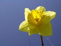 Jonquille jaune photographie stock