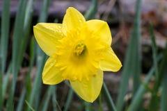 Jonquille jaune après pluie Image stock