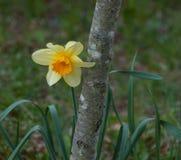 Jonquille jaune avec le tronc de pommier Photos libres de droits