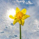 Jonquille jaune dans le contre-jour direct contre le soleil Photos stock