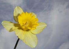 Jonquille jaune en fleur Photos stock