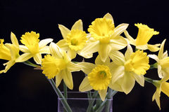 Jonquilles Photos stock