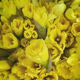 jonquilles Photo stock