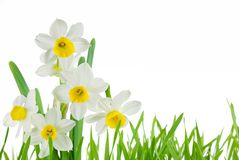 Jonquilles blanches Photos stock