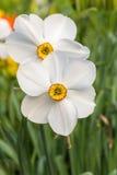 Jonquilles blanches Photographie stock libre de droits