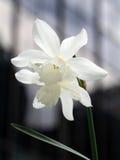 Jonquilles blanches Photos libres de droits