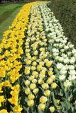 Jonquilles blanches, jaune-clair et jaunes Images stock