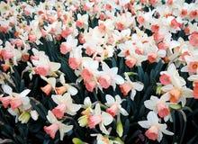 Jonquilles blanches au printemps Image stock